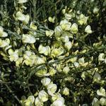 Cytisus x praecox - Cytisus x praecox - Brem,  voorjaarsbrem