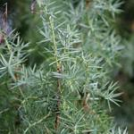 Juniperus communis - Jeneverbes