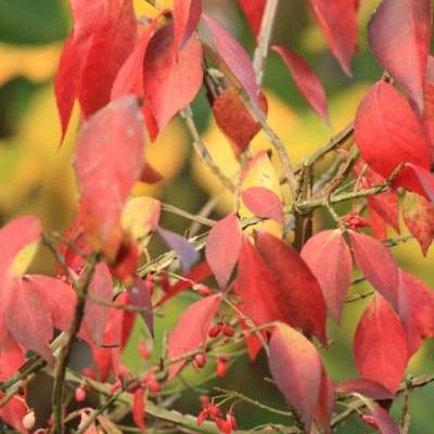 Euonymus alatus    -