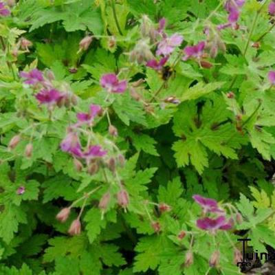 Geranium phaeum 'Rose Madder' -