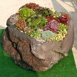 Sempervivum - Huislook/Spinweb/Daklook - Sempervivum