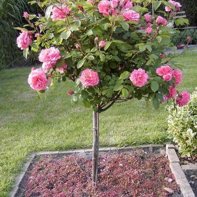 Rosa -