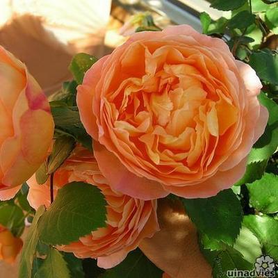 Rosa 'Lady Emma Hamilton' -