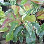 Leucothoe fontanesiana 'Rainbow' - Druifheide - Leucothoe fontanesiana 'Rainbow'