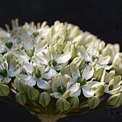 Allium nigrum -