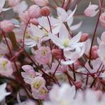 Clematis armandii 'Apple Blossom' - Bosrank - Clematis armandii 'Apple Blossom'