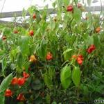 Capsicum baccatum. Bishop's Crown - Peper, chilipeper