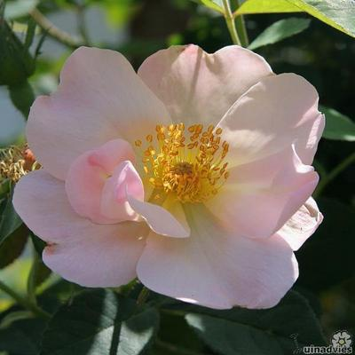 Rosa 'Shropshire Lass' -