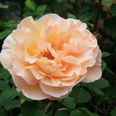 Rosa 'Polka' -