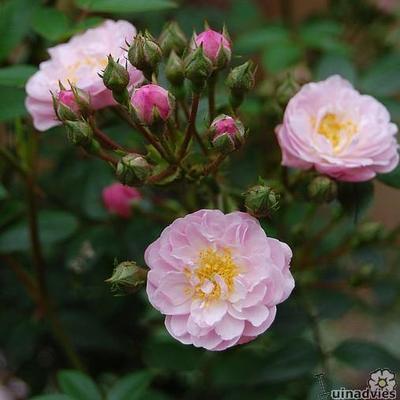 Rosa 'Little Rambler' -