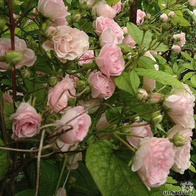 Rosa 'Frau Eva Schubert' -
