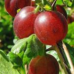 Rode stekelbes, Kruisbes, Klapbes - Ribes uva-crispa Hinnonmaki Röd
