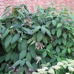 Hydrangea aspera - Fluweelhortensia - Hydrangea aspera