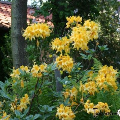 Rhododendron x kosteranum -