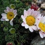 Anacyclus pyrethrum - Anacyclus pyrethrum - Bertram