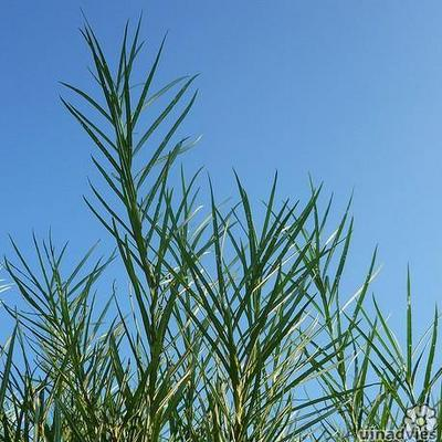Salix rosmarinifolia -