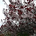 Prunus x cistena - Sierpruim, Zandkers - Prunus x cistena