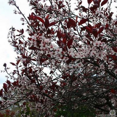 Prunus x cistena -