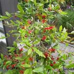 Ochna serrulata - Ochna serrulata -  Mickey Mouse struik , Fijnblaarrooihout