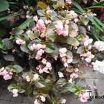 Begonia semperflorens - Begonia semperflorens - waterbegonia