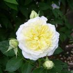 Rosa 'The Pilgrim' - Roos