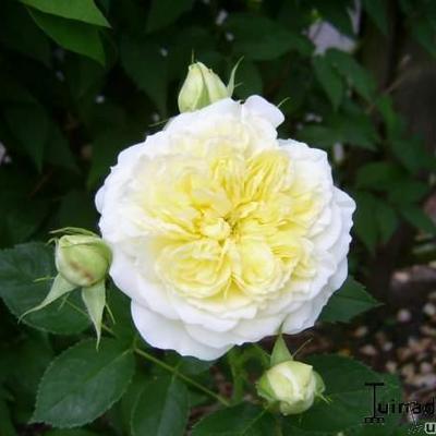 Rosa 'The Pilgrim' -