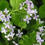 Lunaria rediviva - Lunaria rediviva - Wilde judaspenning