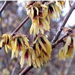 Chimonanthus praecox - Chimonanthus praecox - Winterzoet, meloenboompje