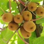 Actinidia deliciosa - Actinidia deliciosa - Chinese kruisbes, Kiwi
