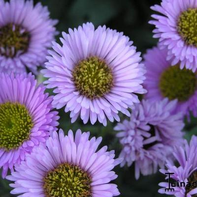 Erigeron 'Four Winds' - Fijnstraal