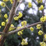 Cornus mas - Gele kornoelje - Cornus mas