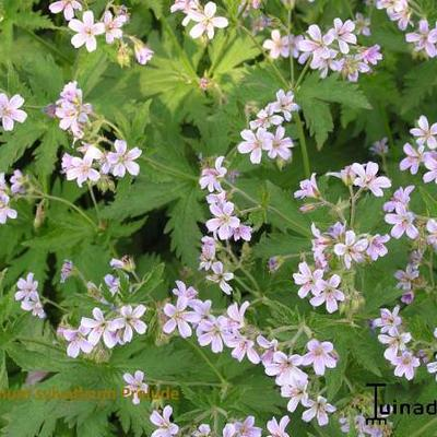 Geranium sylvaticum -