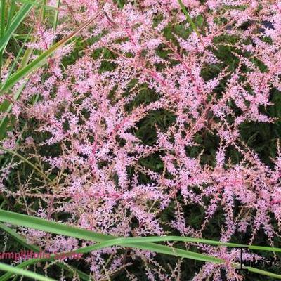 Astilbe simplicifolia -