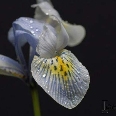 Iris 'Katharine Hodgkin' -