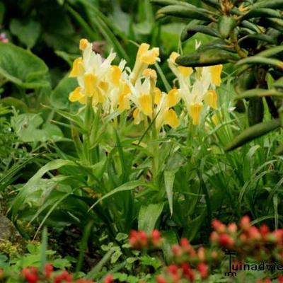 Iris bucharica -