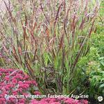 Panicum virgatum - Vingergras - Panicum virgatum
