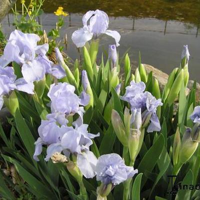 Iris pumila' Little Sapphire' -