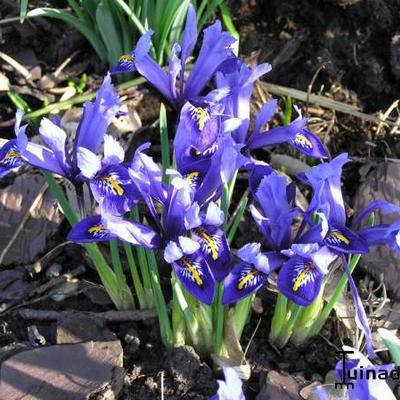 Iris reticulata 'Harmony' -
