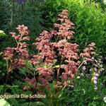 Rodgersia (varieteiten) - Rodgersia (varieteiten) - Kijkblad, Schout bij Nacht