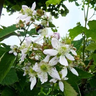 Rubus fruticosus 'Thornfree' -