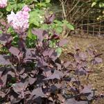 Atriplex hortensis - Atriplex hortensis - Tuinmelde