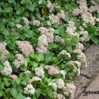 Sedum populifolium -