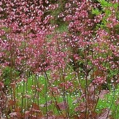 Heuchera sanguinea 'Splendens' - Purperklokje - Heuchera sanguinea 'Splendens'