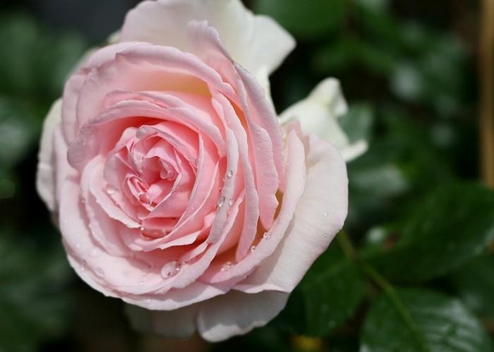 Roos klimroos rosa 39 pierre de ronsard 39 planten online for Pierre de ronsard rosa