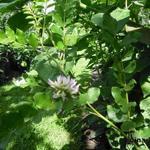 Glycyrrhiza glabra - Glycyrrhiza glabra - Zoethout