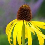 Echinacea paradoxa - Gele zonnehoed
