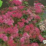 Spiraea japonica 'Dart's Red' - Spierstruik, spirea - Spiraea japonica 'Dart's Red'
