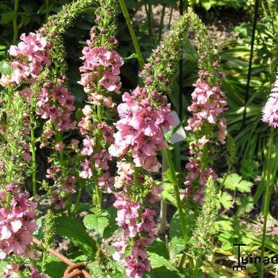 Verbascum phoeniceum 'Southern Charm' - Toorts
