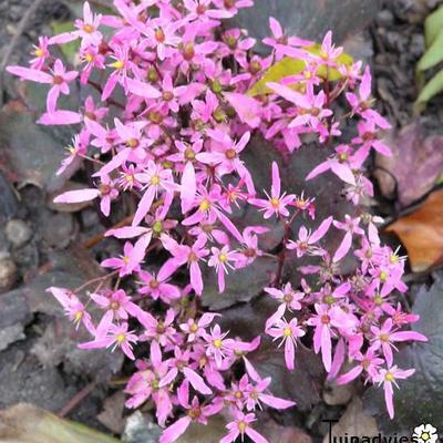 Steenbreek - Saxifraga fortunei 'Black Ruby'