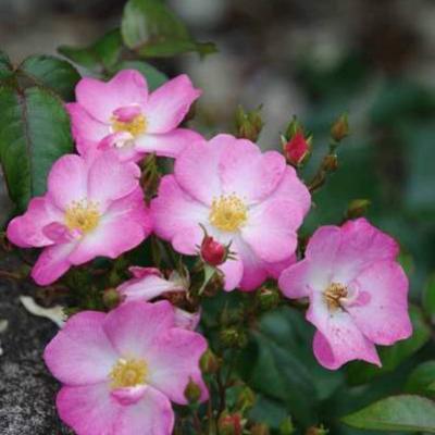 Rosa Siesta' -